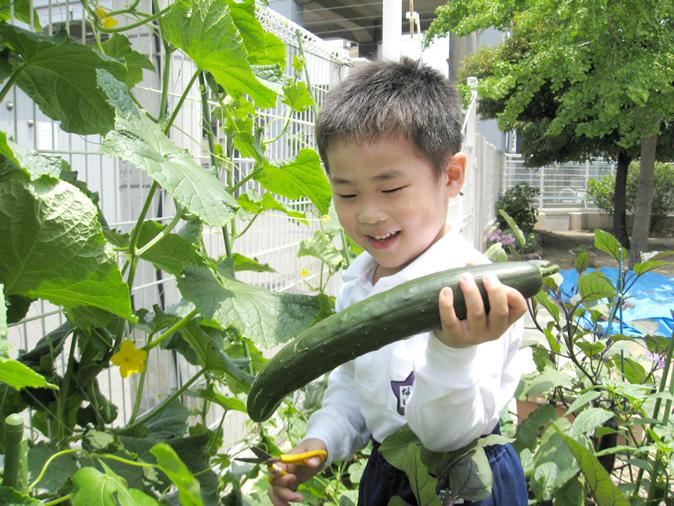 栽培 きゅうり