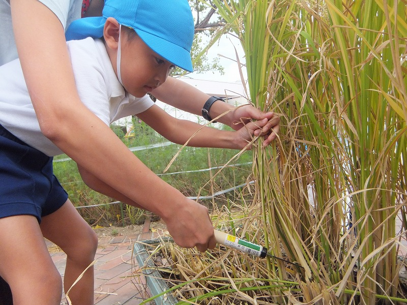 10月12日(金) 稲刈りをしました。