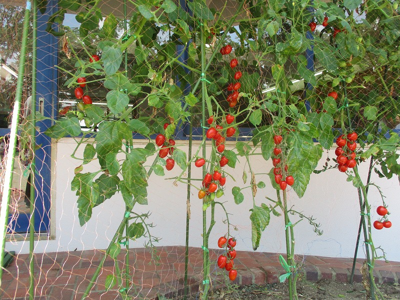 7月10日(火) 第2段!!トマトの収穫をしました。