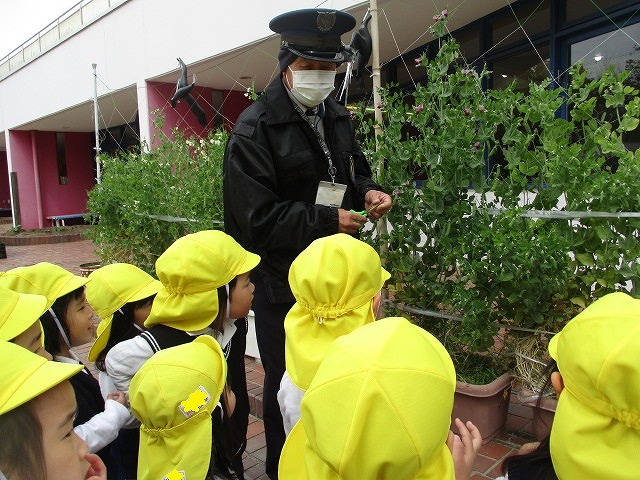 4月12日(金) キヌサヤの収穫をしました。