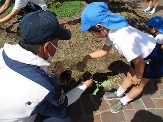 9月6日 ブロッコリーの苗を植え替えました。